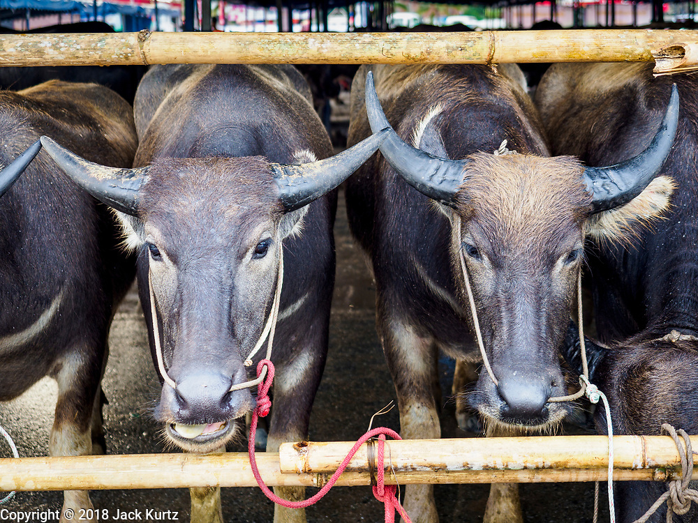 23 OCTOBER 2018 - CHONBURI, CHONBURI, THAILAND:  Water buffalo in a pen before the water buffalo racing starts in Chonburi. Contestants race water buffalo about 100 meters down a muddy straight away. The buffalo races in Chonburi first took place in 1912 for Thai King Rama VI. Now the races have evolved into a festival that marks the end of Buddhist Lent and is held on the first full moon of the 11th lunar month (either October or November). Thousands of people come to Chonburi, about 90 minutes from Bangkok, for the races and carnival midway.   PHOTO BY JACK KURTZ