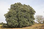 Holm oak tree on heathalnd, Suffolk Sandlings, Shottisham, Suffolk, England
