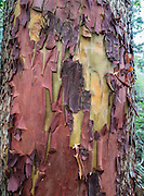 Red bark of a Pacific Madrone or Madrona (Arbutus menziesii) peals in a curled pattern to reveal a new yellow layer. Photographed along the lovely Goose Rock Perimeter Trail, in Deception Pass State Park, on Whidbey Island, Washington, USA.