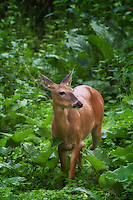 I am almost certain this doe is listening to our dinner conversations.