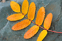 Colrful Mountain Ash leaves lying on sedimentary rocks along McDonald Creek, Glacier National Park Montana USA
