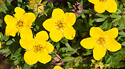 Potentilla is the genus of typical cinquefoils, containing about 500 species of annual, biennial and perennial herbs in the rose family, Rosaceae. Hike the Garden Wall Trail from Logan Pass in Glacier National Park, Montana, USA.