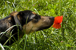 Wallace mixed breed young rescue dog smells at a wild poppy while out walking Copyright Paul David Drabble