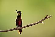 Crimson Topaz Hummingbird (Topaza pella)<br /> Rainforest<br /> Rewa River<br /> Iwokrama Reserve<br /> GUYANA. Brazil and Guianas