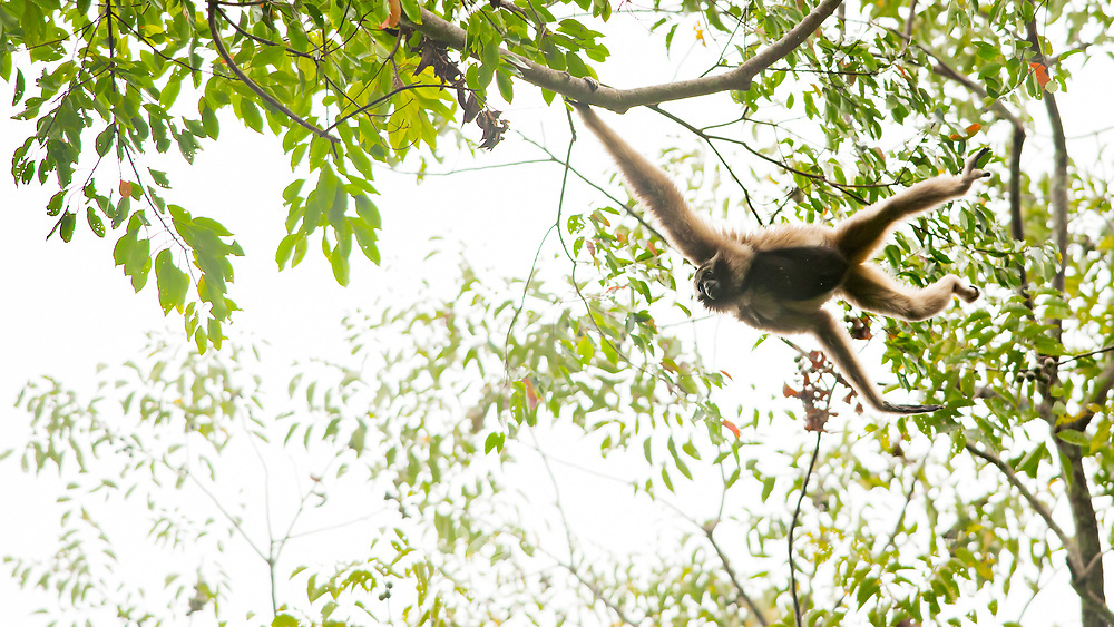 Pileated Gibbon (Hylobates pileatus) adult female brachiating in Khao Yai national park, Thailand