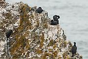 USA, Oregon, Newport, Yaquina Head, Brandt's Cormorants (Phalacrocorax penicillatus) at nesting colony