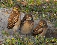 Juvenile burrowing owls lined up at the entrance to their burrow ,© 2011 David A. Ponton