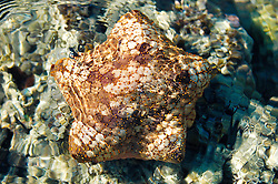 A brown cushion star in Wailgwin Lagoon on the Kimberley coast.