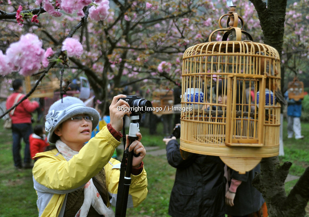 A woman takes photos of a bird hung from a cherry tree at the Xishan Park in Guilin City, southwest China s Guangxi Zhuang Autonomous Region, March 16, 2013. More than 70 cages of birds were displayed for the tourists to view at a cherry forest here Saturday, March 16, 2013.. Photo by Imago / i-Images...UK ONLY.Contact..