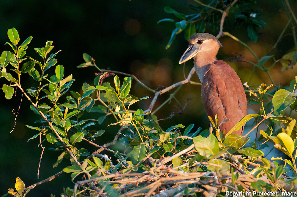 Boat Billed Heron Kingfisher along the Pixiam in the Pantanal, Brazil, Summer