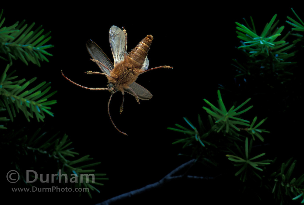 A beetle (Family Cerambycidae) flies at night in the Willamette National Forest, Oregon.