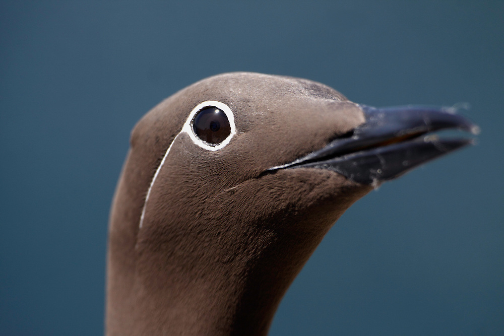 Guillemot ringed variant (Uria aalge) Saltee Islands Ireland