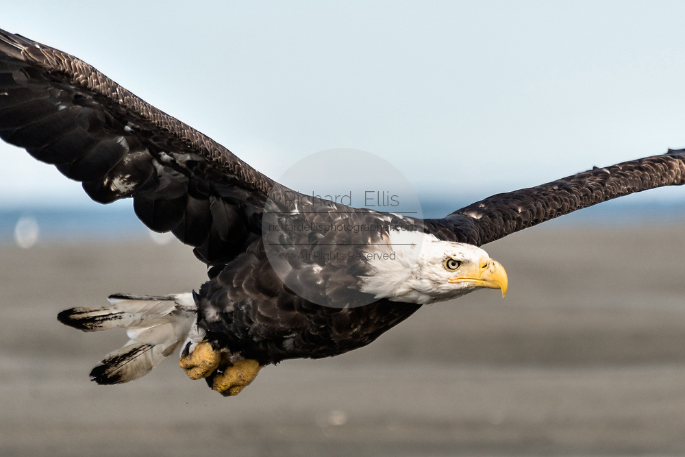 An adult bald eagle takes flight along the beach at Anchor Point, Alaska.