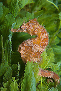 Lined seahorse Hippocampus erectus rests among algae in the Lake Worth Lagoon, Singer Island, FL