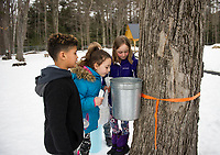 Lucas Diaz, Maria Pena, Tucker Crawford and Kaitlin Herbert check to see how much sap has collected at the Nash-Boucher / Haddock tree for the sap house at Gilford Elementary School.  (Karen Bobotas/for the Laconia Daily Sun)