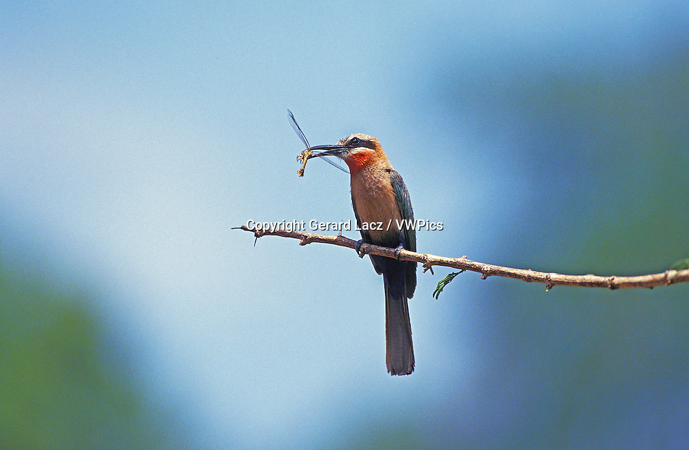 White Fronted Bee Eater, merops bullockoides, Adult standing on Branch, Eating Dragonfly, Kenya