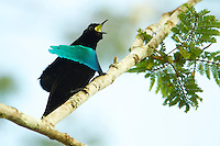 Superb Bird of Paradise (Lophorina superba).Adult male calling