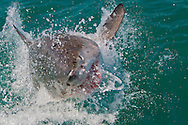 Alberto Carrera, Great White Shark, Carcharodon carcharias,Gansbaai, Western Cape, South Africa, Africa
