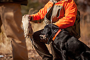 Black Lab giving pheasant to handler after a retrieve