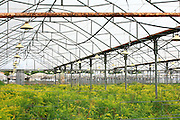 Israel, Moshav Sde Yitzhak, Flowers in a greenhouse