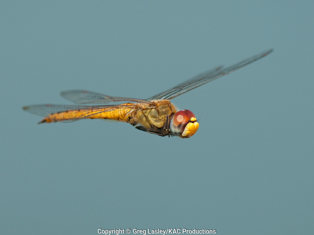 Wandering Glider.Pantala flavescens.male - in flight.Hornsby Bend,.Austin, Travis Co., Texas.7 September 2009