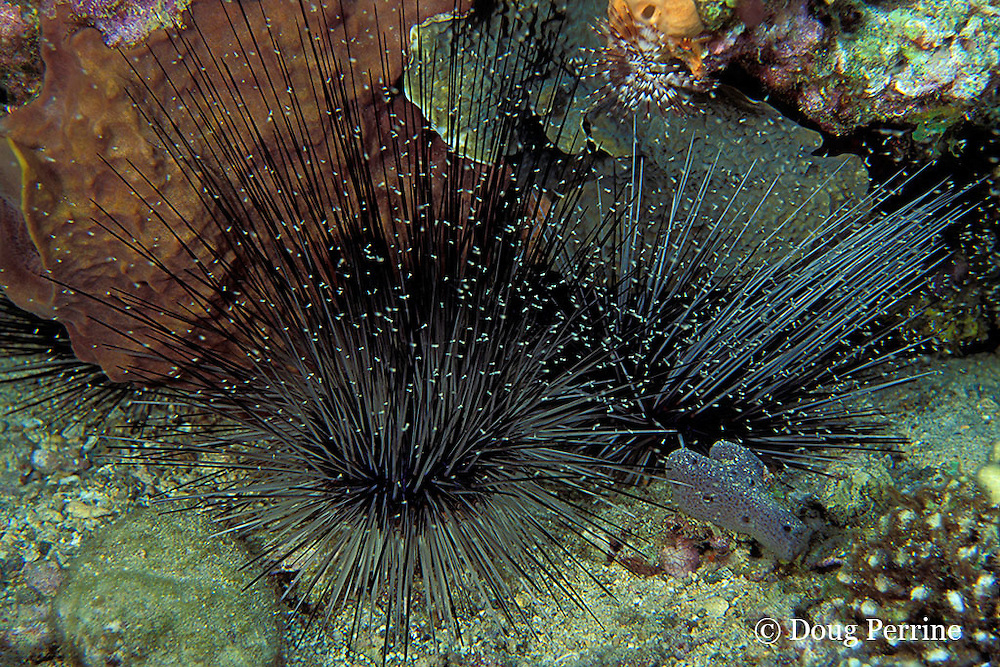 mysid or opossum shrimp sheltering in sea urchin, Diadema antillarium, Dominica  ( Eastern Caribbean Sea )