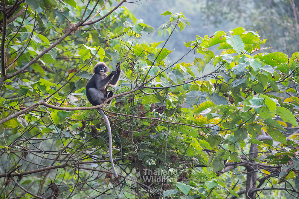 The dusky leaf monkey, spectacled langur, or spectacled leaf monkey (Trachypithecus obscurus) is a species of primate in the family Cercopithecidae. It is common in the western parts of the country.