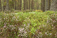 Caledonian pine forest on the Spey Way near Boat of Garten, Cairngorms National Park, Scottish Highlands, Uk