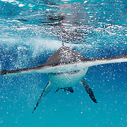 A great hammerhead shark comes right for the camera in Bimini, Bahamas