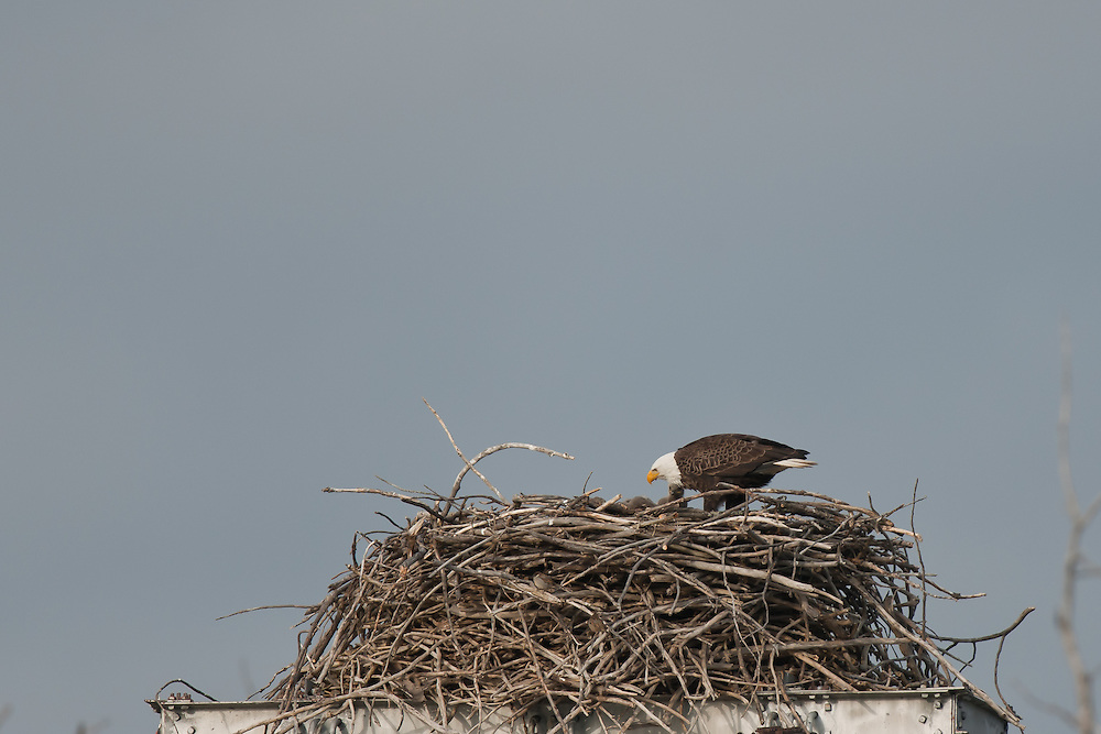Bald Eagle eaglets mud lock Montezuma NY