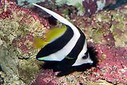 Wimpelfish, Heniochus diphreutes.