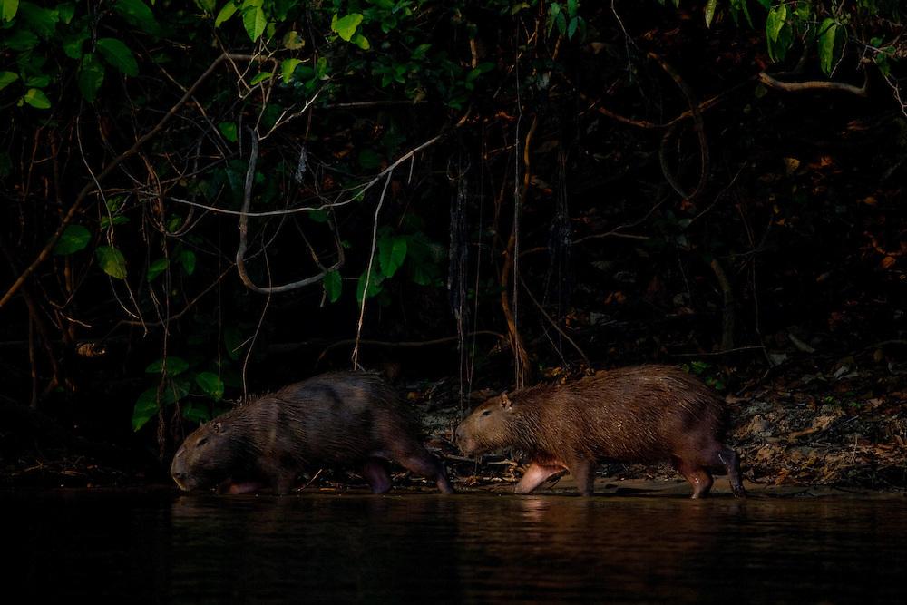 Mato Grosso, Brazil. September  2007.  Cristalino State Park. Capybaras (Hydrochaeris hydrochaeris). The Capybara is the World's largest rodent.