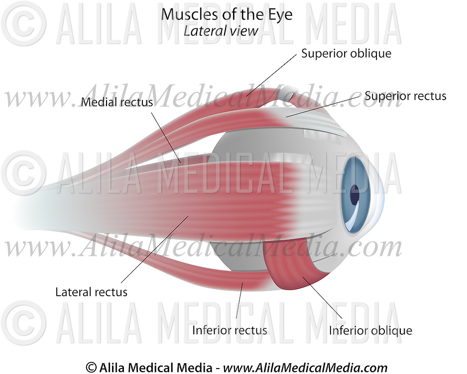 Muscles Of The Eye Alila Medical Images
