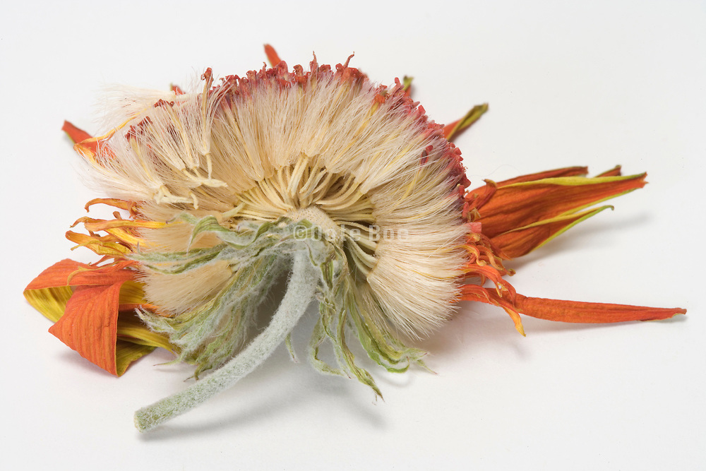 cross section view of a dried Gerbera flower
