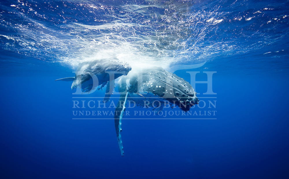 A female Megaptera novaeangliae (Humpback Whale) keeps a close eye on her calf off the coast of the Vava'u Island group in the Kingdom of Tonga..Saturday 01 September 2012..Photograph Richard Robinson © 2012.
