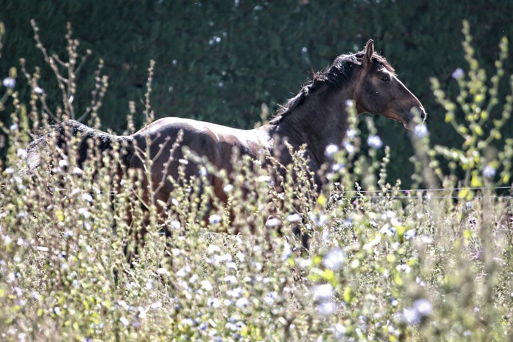 MAGNUS SWB - Swedish Warmblood stallion : Owner Caithness Stud (Annabelle Read)