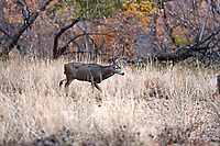 A Mule Deer travels through a river bottom the end of November in southern Utah.