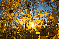 Sunlight shines through the brightly colored aspen leaves in Northern Utah during peak Fall colors.