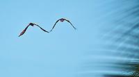 Two macaws flying at Lapa Rios Ecolodge, Osa Peninsula, Costa Rica