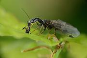 Die Kamelhalsfliege (Phaeostigma notata) gehört zu den großen Räubern auf dem Eichenblatt. Sie frisst kleine  Blattläuse oder, wie hier, eine Fliege.  | Snakefly (Phaeostigma notata)