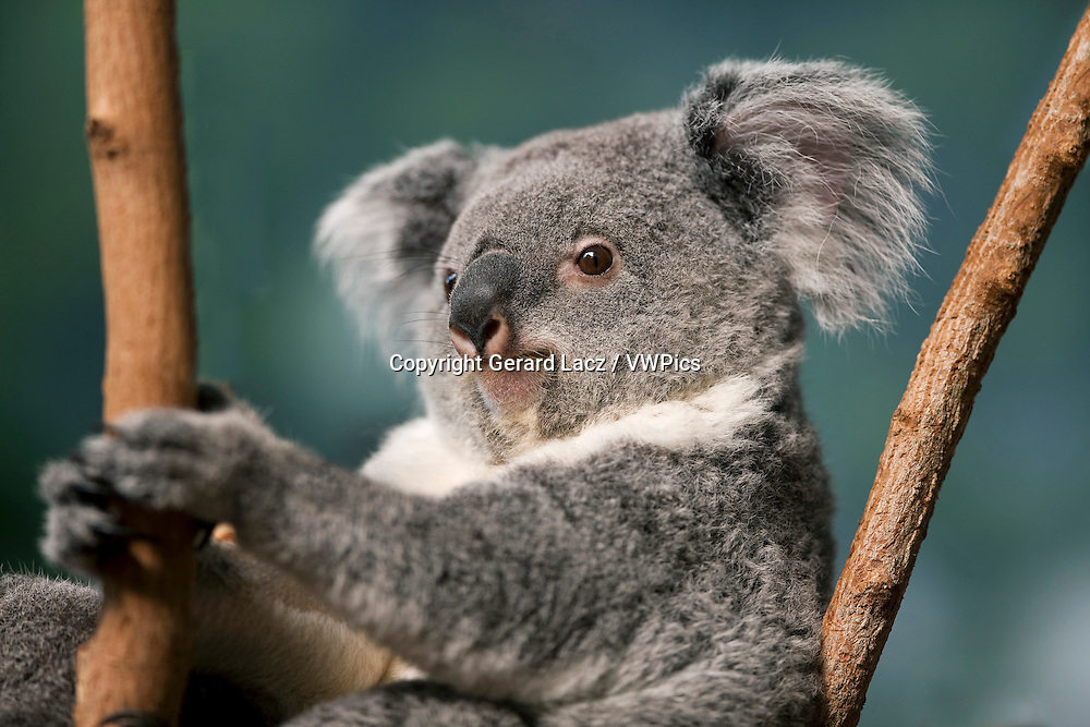 Koala, phascolarctos cinereus, Portrait of Female