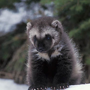 Wolverine, (Gulo gulo) Young kit in snow. Spring. Rocky mountains.  Captive Animal.