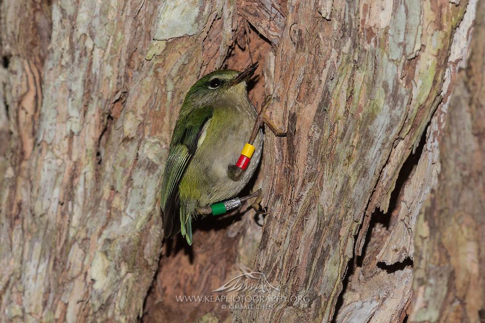 Rifleman at the entrance to its nest in a pohutukawa tree, Tiritiri Matangi, New Zealand