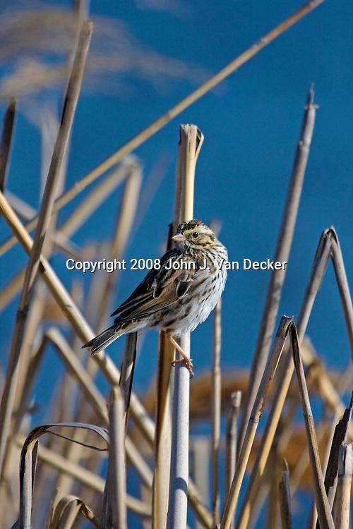 Savannah Sparrow, Passerculus sandwichensis, in a salt marsh