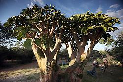 NAMIBIA KAMANJAB 27APR14 - Baoab tree at the Ojitotongwe Cheetah farm near Kamanjab, Namibia.<br /> <br /> <br /> <br /> jre/Photo by Jiri Rezac<br /> <br /> <br /> <br /> © Jiri Rezac 2014