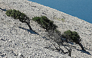 Hiking trail above the steep, rocky northeast coast of Rab, between Kamenjak and Lopar. Rab, Kvarner region, Croatia (24 June 2013). Trees growing at an angle, bent by the bura, a harsh northeasterly wind.