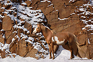XNMA03  WILD HORSE  (Equus ferus)  Catnip herd, Cheyenne River Sioux Reservation, SD