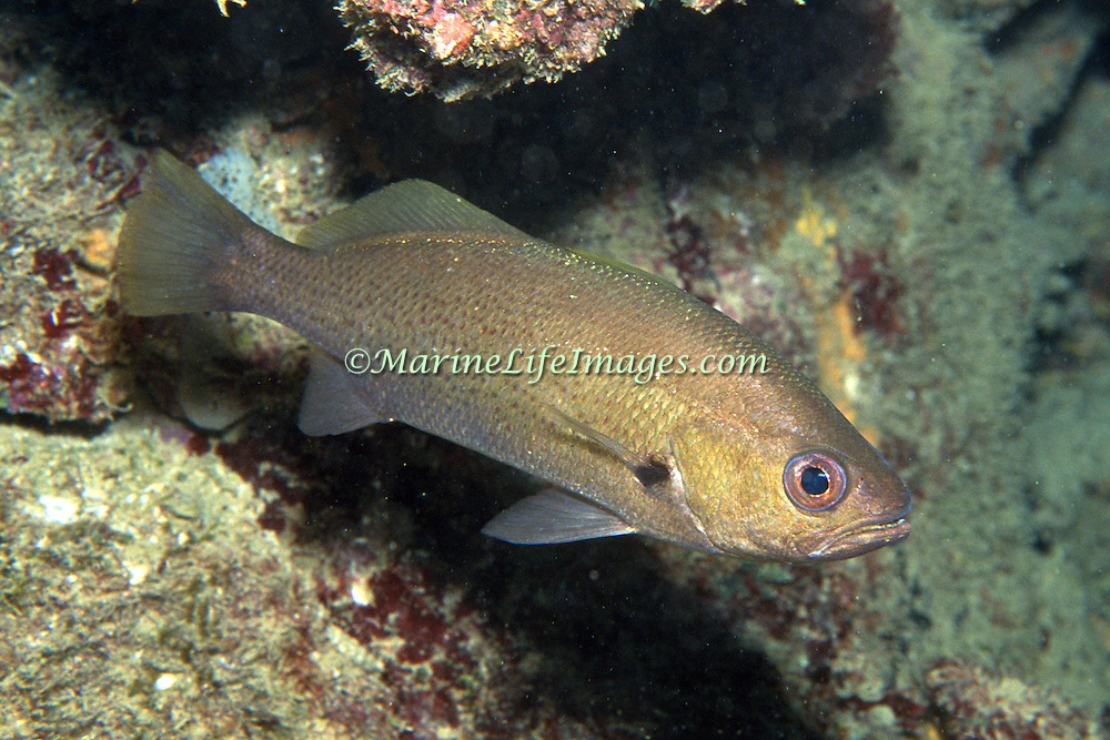 Reef Croaker inhabit reefs, hiding in recesses, caves and under ledge overhangs during day in So. Florida and Caribbean; picture taken Grand Cayman.