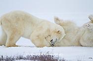 01874-12607 Two Polar bears (Ursus maritimus) sparring in winter, Churchill Wildlife Management Area, Churchill, MB Canada