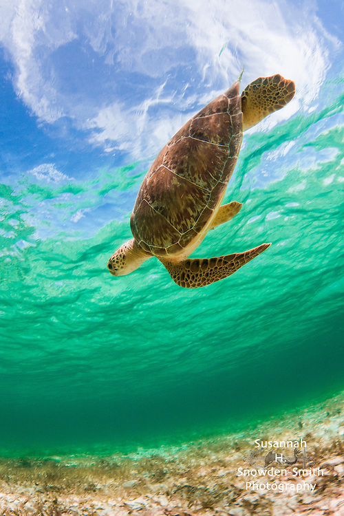 """Turtle In The Sky (With Diamonds)"" - Spotts Beach, Grand Cayman"